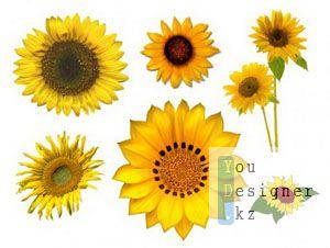 Клипарт – Подсолнухи / Sunflowers